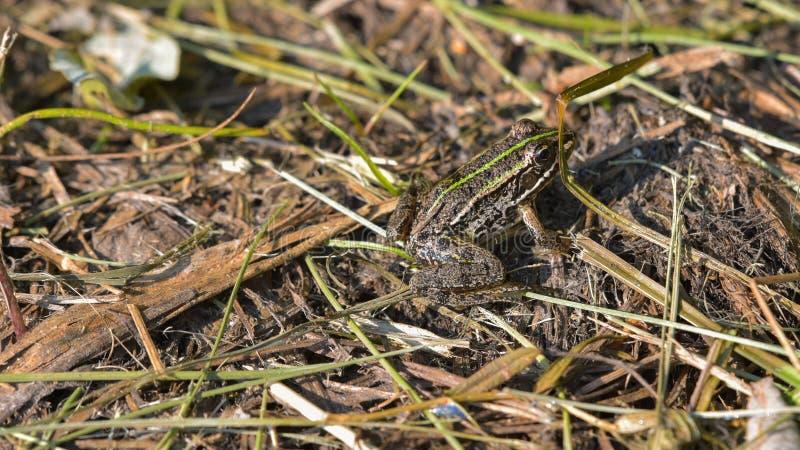 brauner Frosch gelegt aus den Grund lizenzfreies stockbild