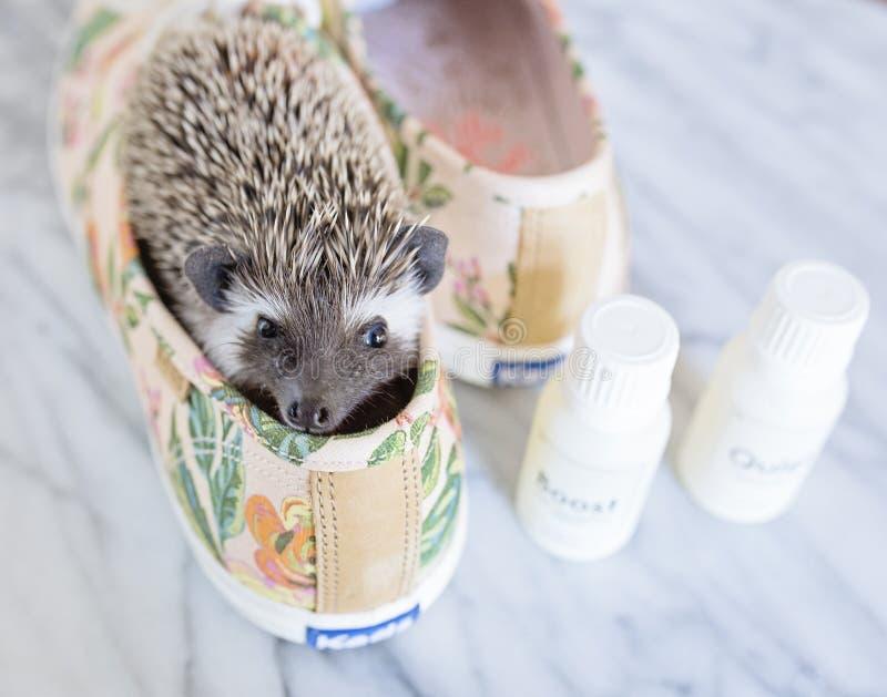 Brauner Hedgehog in braunen und grünen Keds-Neoprenädern mit Flaschen lizenzfreie stockbilder