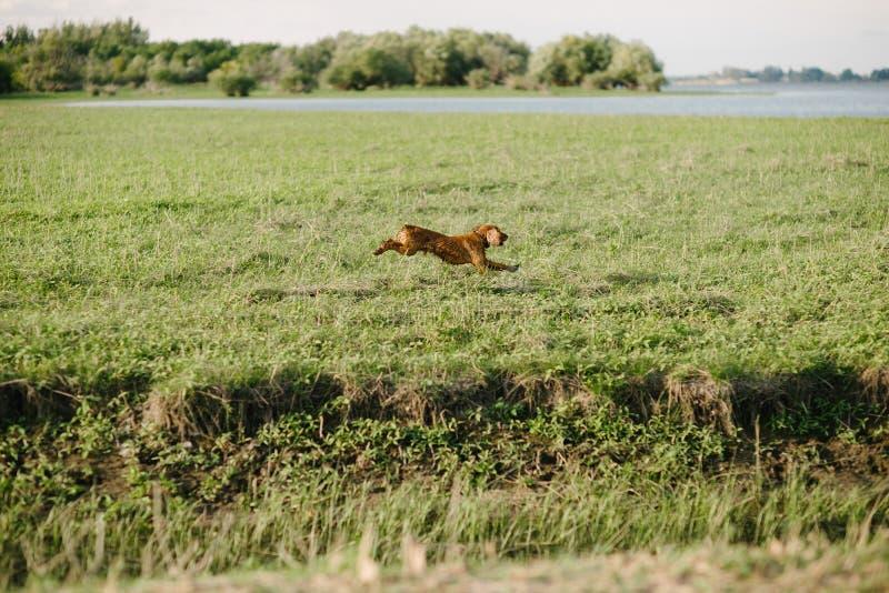 brauner Hund, der durch ein grünes Feld läuft lizenzfreies stockbild