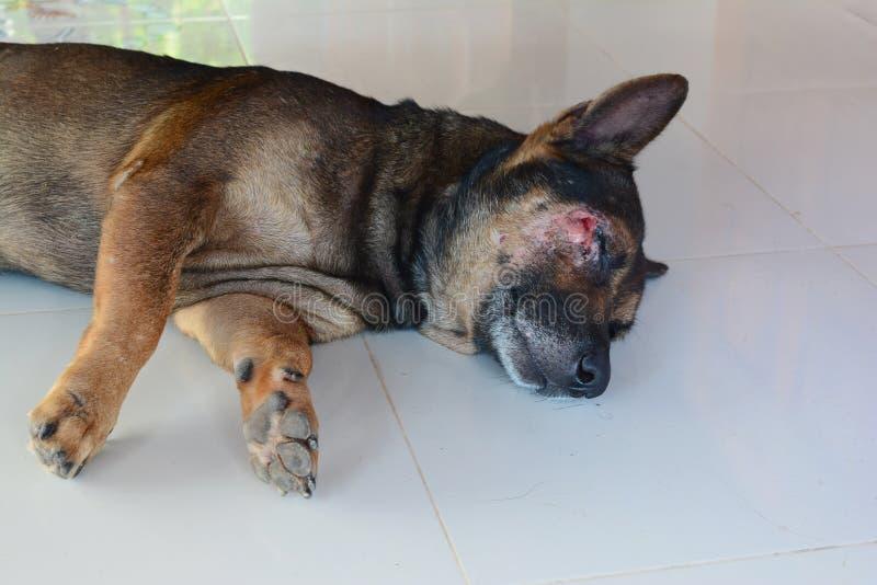 brauner Hund Schlafens verletzt auf dem Gesicht stockbilder