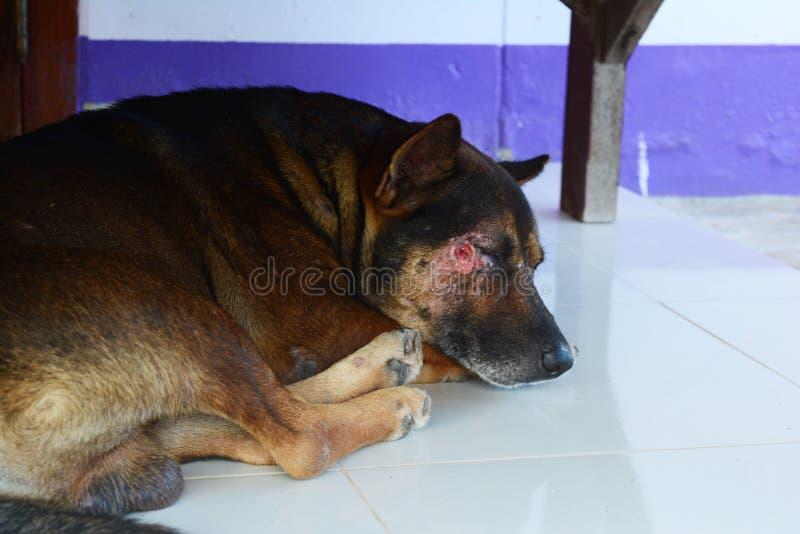 brauner Hund Schlafens verletzt auf dem Gesicht lizenzfreie stockfotos