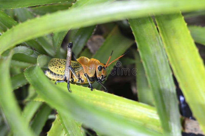 Brauner und grüner Grasshopper stockbild