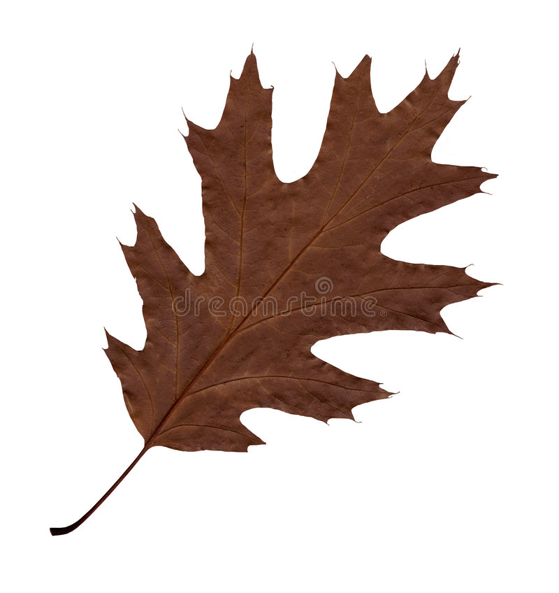 Braunes Blatt des Herbstes einer Eiche. stockbilder