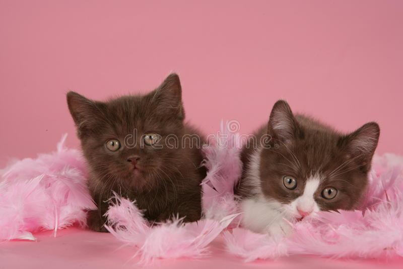 Braunes britisches shorthair zwei Kätzchen lizenzfreie stockfotografie