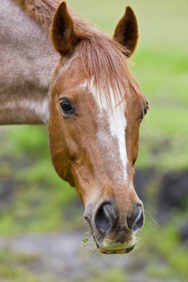 braunes Pferdenportrait stockfotografie