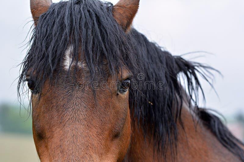 braunes Pferdenportrait lizenzfreie stockfotografie