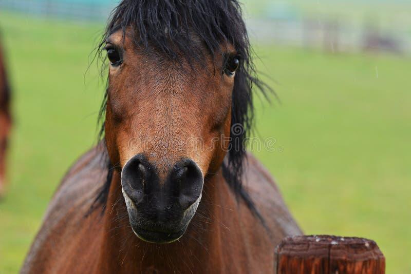 braunes Pferdenportrait lizenzfreie stockbilder