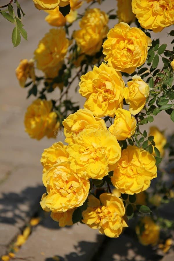 Braungelbe Rose, Persergelb, Foetida Persisch stockfoto