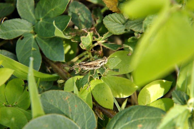 Braungrasshopper lizenzfreie stockfotografie