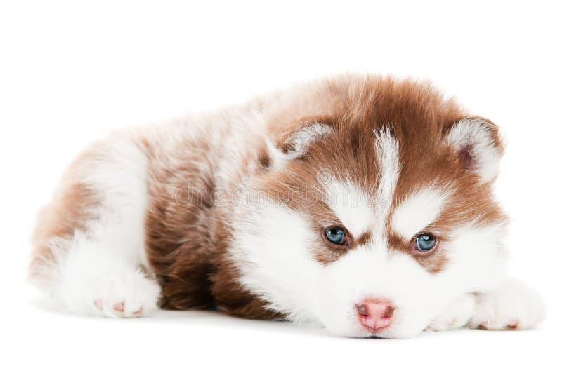 Braunwelpe des sibirischen Schlittenhunds trennte lizenzfreie stockfotos