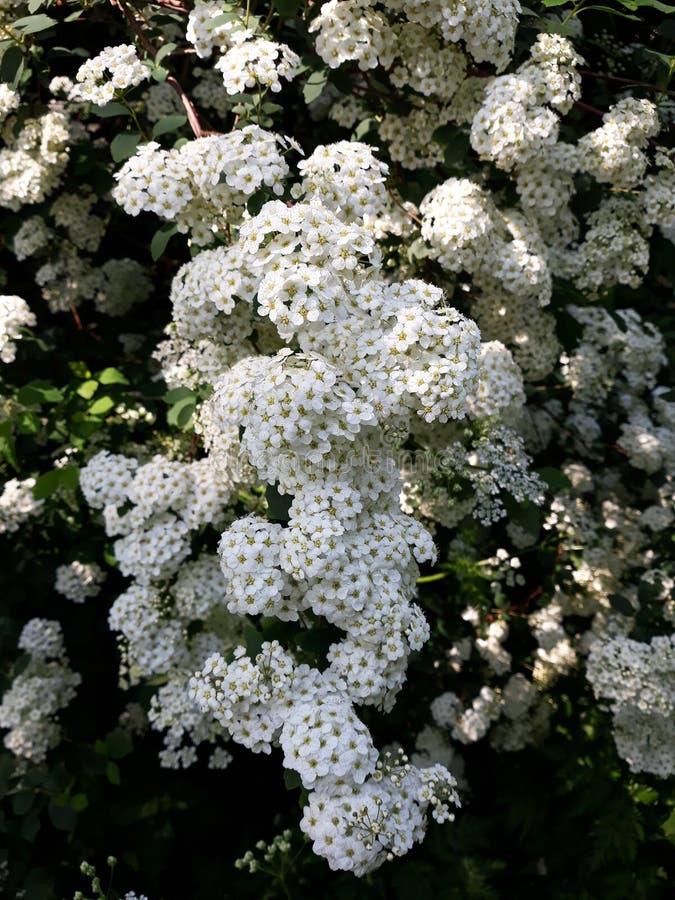 Brautschleier Spirea, Brautkranzblumen stockfotografie