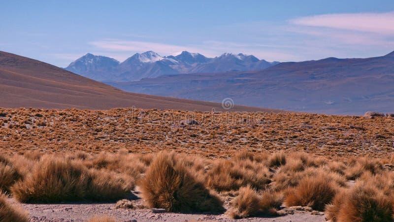 Brava in Altiplano Bolivië, Zuid-Amerika stock fotografie