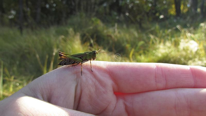 Brave green grasshopper. The brave green grasshopper is not afraid of a man and sits on his hand with pleasure. He has big eyes and long legs royalty free stock photo