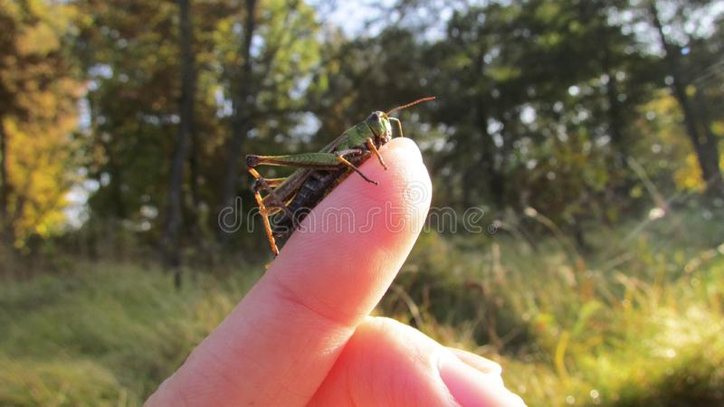 Brave green grasshopper. The brave green grasshopper is not afraid of a man and sits on his hand with pleasure. He has big eyes and long legs stock image