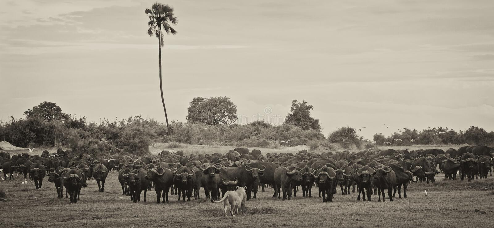 Brave Lioness. A single Lioness in front of a wall of Buffalo, Okavango Delta, Botswana royalty free stock images