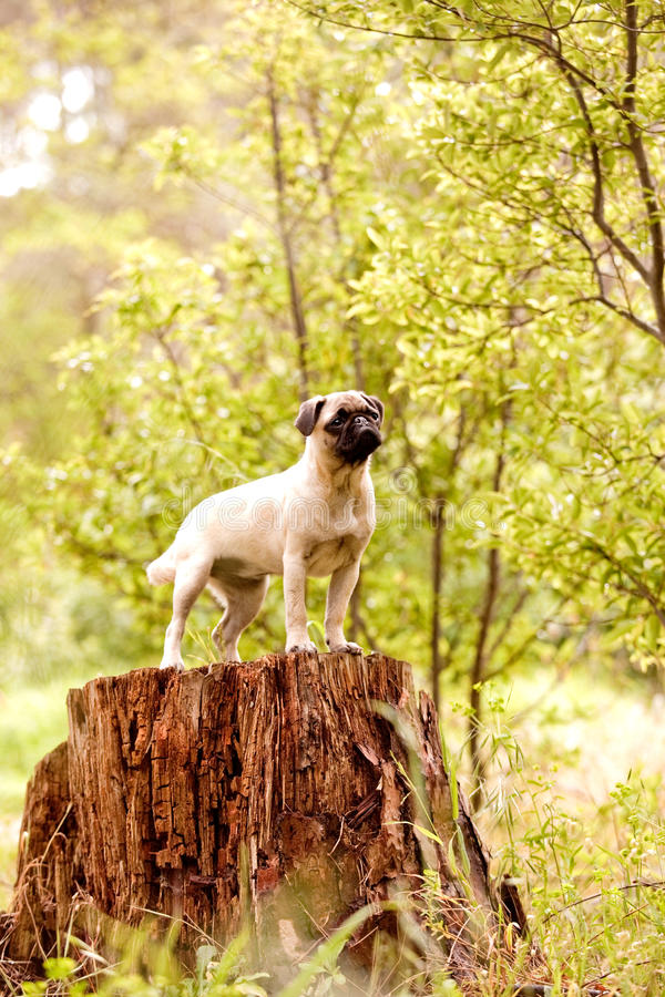Brave pug puppy. Tan pug puppy in the forest stock image
