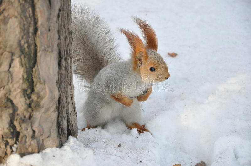 Download Brave Squirrel Royalty Free Stock Image - Image: 17428306