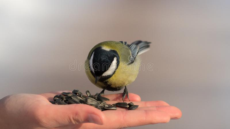 Brave tit can eat from your hand royalty free stock images