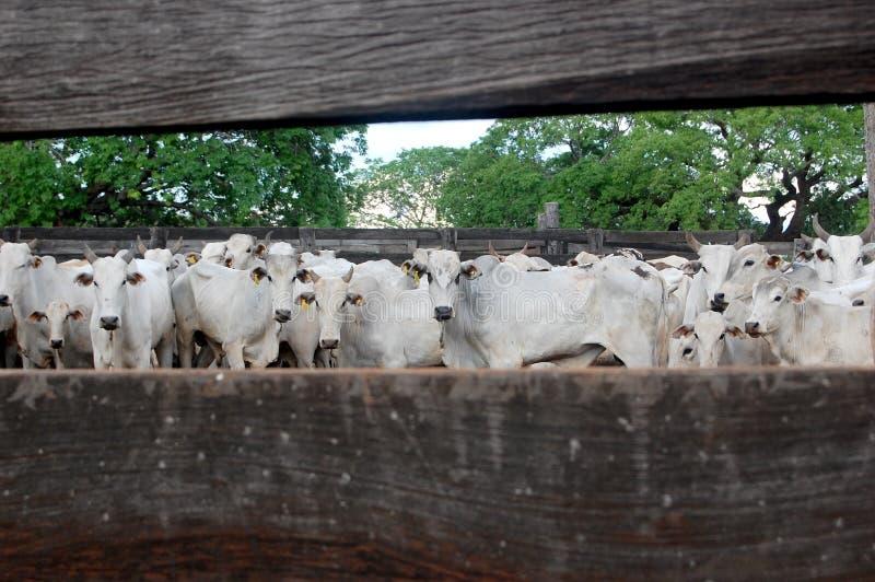 brazil bydła ranching obrazy stock