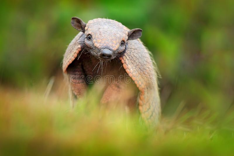 Brazil cute animal. Six-Banded Armadillo, Yellow Armadillo, Euphractus sexcinctus, Pantanal, Brazil. Wildlife scene from nature. F. Unny portrait of Armadillo royalty free stock photo
