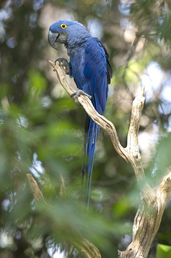 brazil hiacyntowy ary pantanal bawić się drzewa zdjęcia royalty free