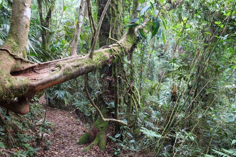 Brazil national park. Brazil - jungle hiking trail in Mata Atlantica (Atlantic Rainforest biome) in Serra dos Orgaos National Park (Rio de Janeiro state stock photography