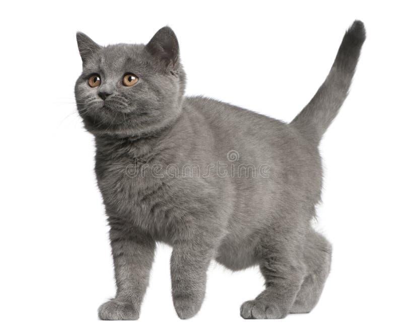 Braziliaans Shorthair-katje, 10 weken die oud, voor wh lopen stock foto's