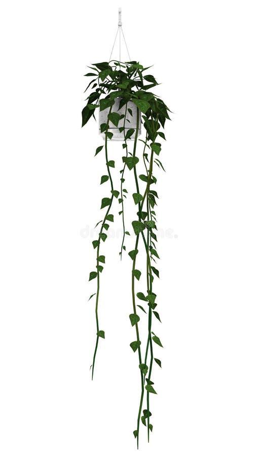 Braziliaanse Jasmijn op Wit vector illustratie