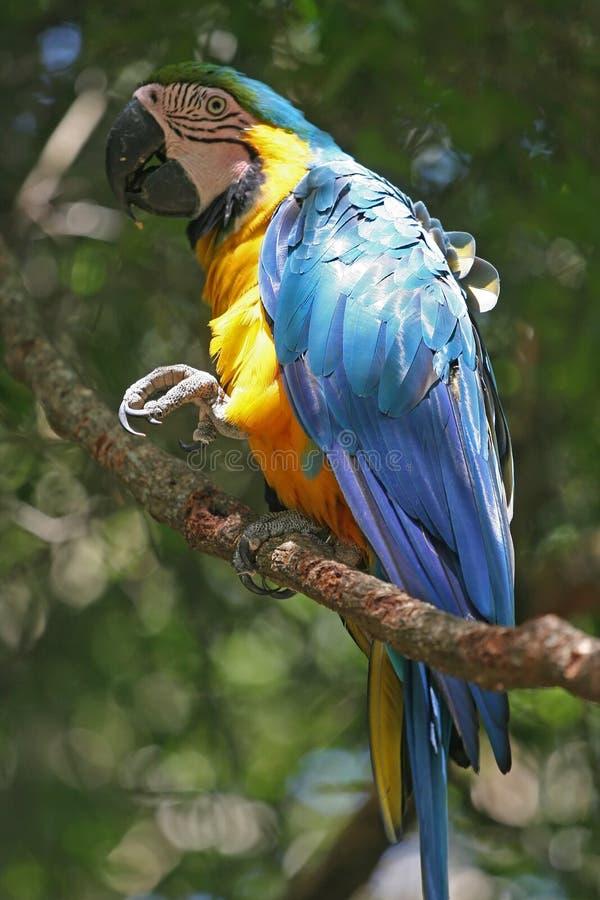 Braziliaanse papegaai royalty-vrije stock afbeelding