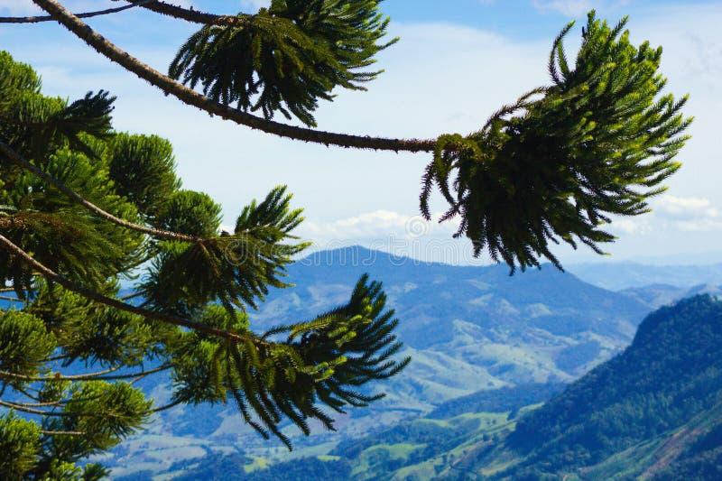 Braziliaanse pijnboom royalty-vrije stock foto