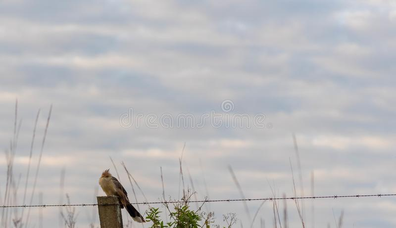 Brazilian bird sitting on about wires royalty free stock image