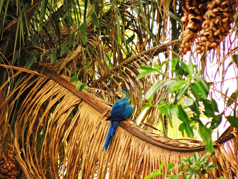Brazilian blue and yellow macaw alone in a tree stock photos
