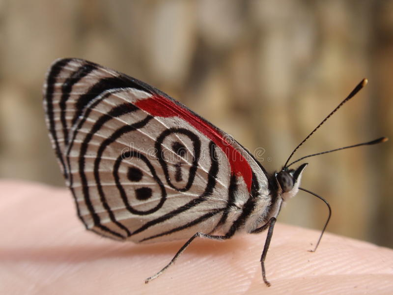 Brazilian butterfly. A Brazilian butterfly sitting patiently on my hand stock photo