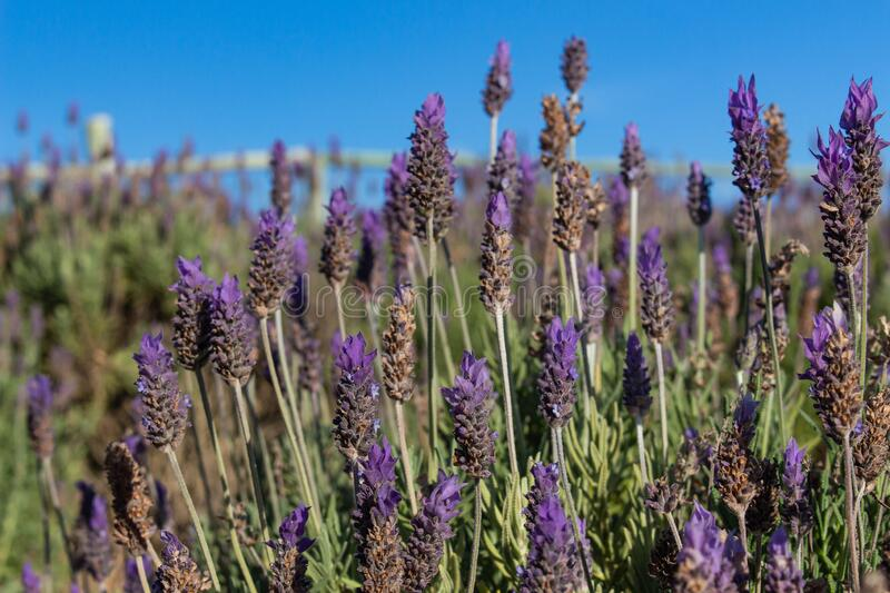 Brazilian lavender flowers. A picture of lavender flowers in a lavender field located in Southeast Brazil stock image