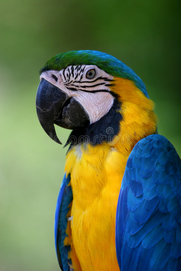 Brazilian Macaw stock photo