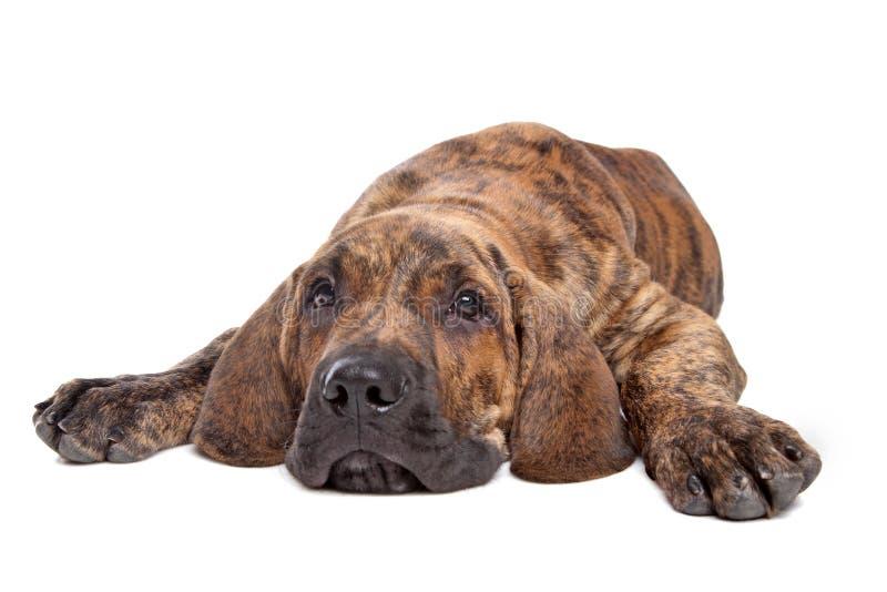 Brazilian Mastiff or Fila Brasileiro royalty free stock image