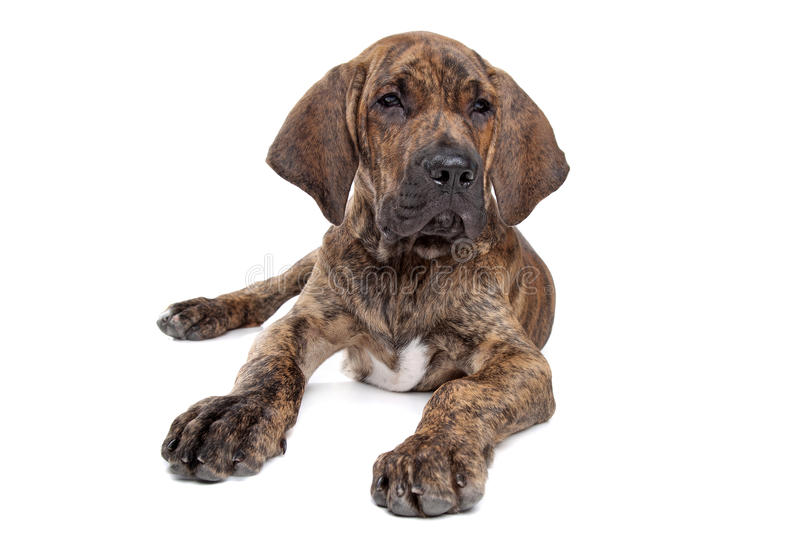 Brazilian Mastiff or Fila Brasileiro. Brazilian Mastiff also known as Fila Brasileiro puppy in front of a white background royalty free stock image