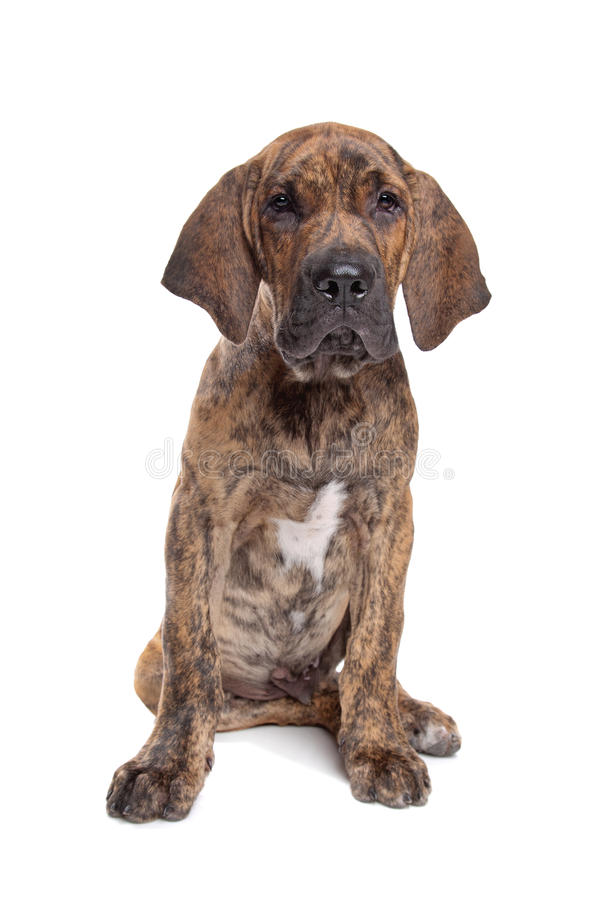 Brazilian Mastiff or Fila Brasileiro. Brazilian Mastiff also known as Fila Brasileiro puppy in front of a white background stock photos