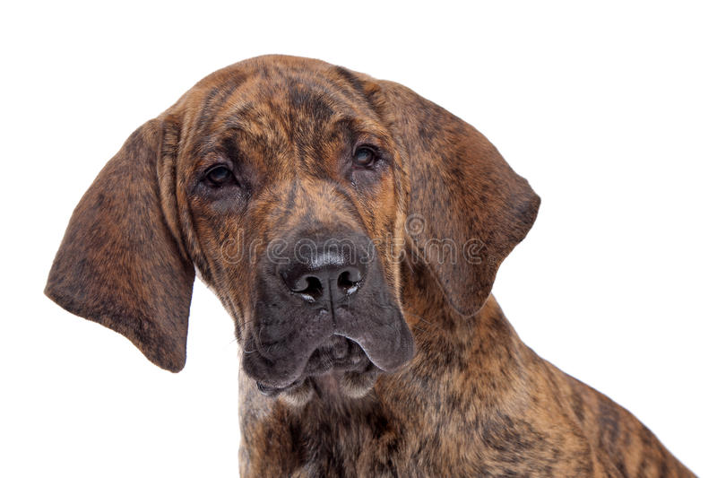 Brazilian Mastiff or Fila Brasileiro. Brazilian Mastiff also known as Fila Brasileiro puppy in front of a white background stock photo