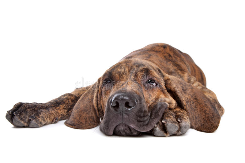 Brazilian Mastiff or Fila Brasileiro. Brazilian Mastiff also known as Fila Brasileiro puppy in front of a white background stock image