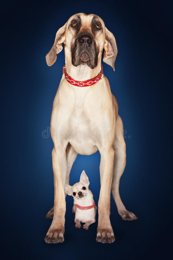 Brazilian Mastiff Standing Over Chihuahua stock images