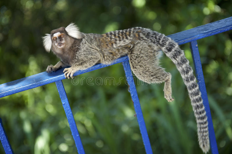 Brazilian Monkey Relaxing Jungle Forest Fence royalty free stock photo