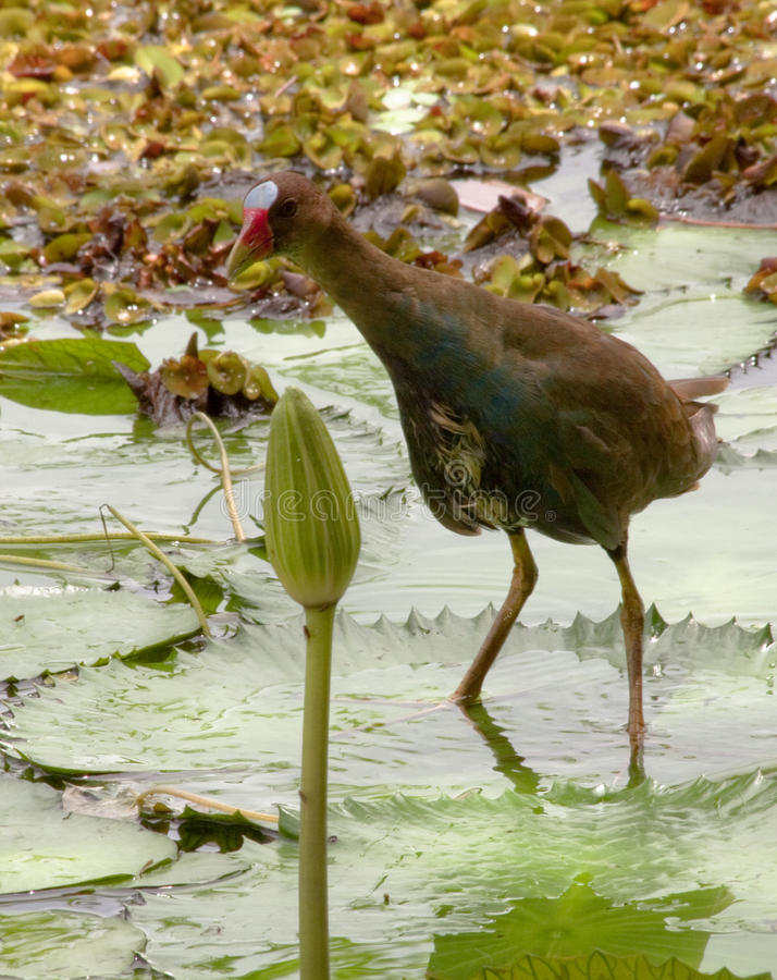 Download Brazilian moorhen stock photo. Image of leaves, animals - 14854498