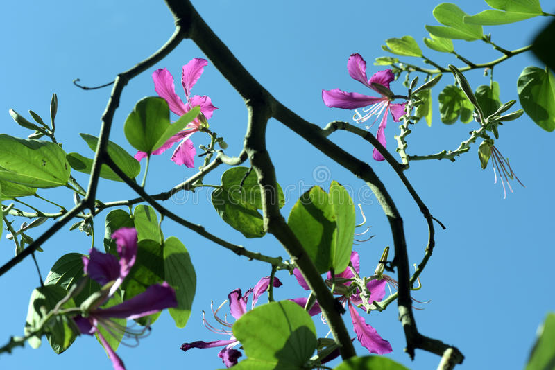 Brazilian orchid tree in bloom under the blue sky royalty free stock images