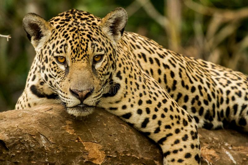 Brazilian Pantanal - The Jaguar. The biggest feline of Americas spoted in Brazil Pantanal, one of the most iconic landscapes iin Brazil stock image