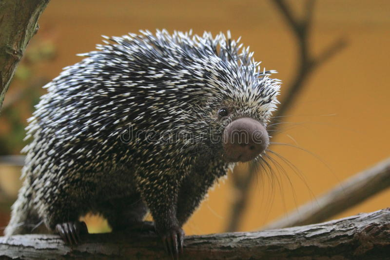 Brazilian porcupine. The brazilian porcupine strolling on the branch royalty free stock photography