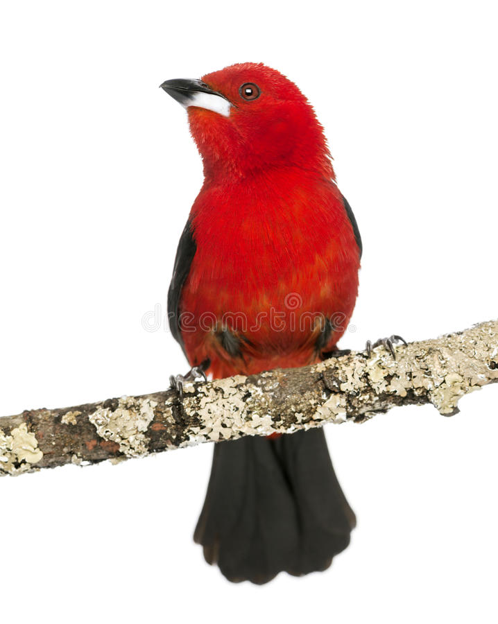 Brazilian Tanager Perched On A Branch - Ramphocelus Bresilius Stock Photography