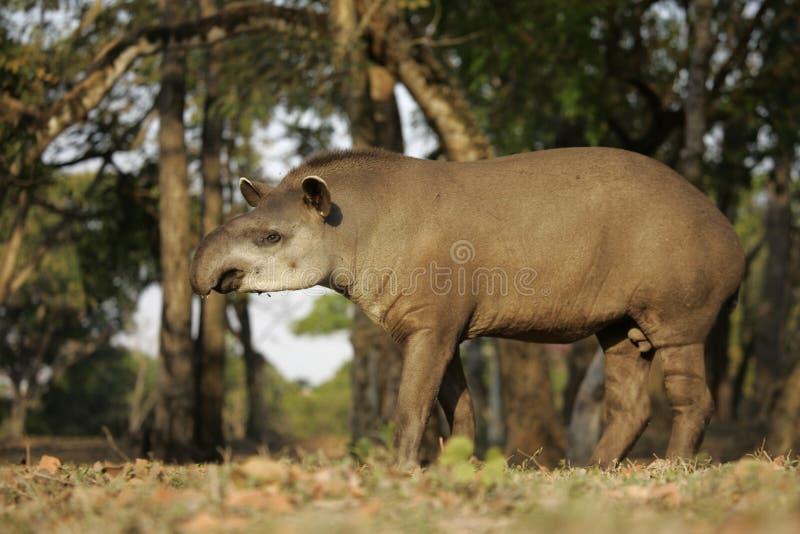 Brazilian tapir, Tapirus terrestris,. On land in Brazil royalty free stock photography