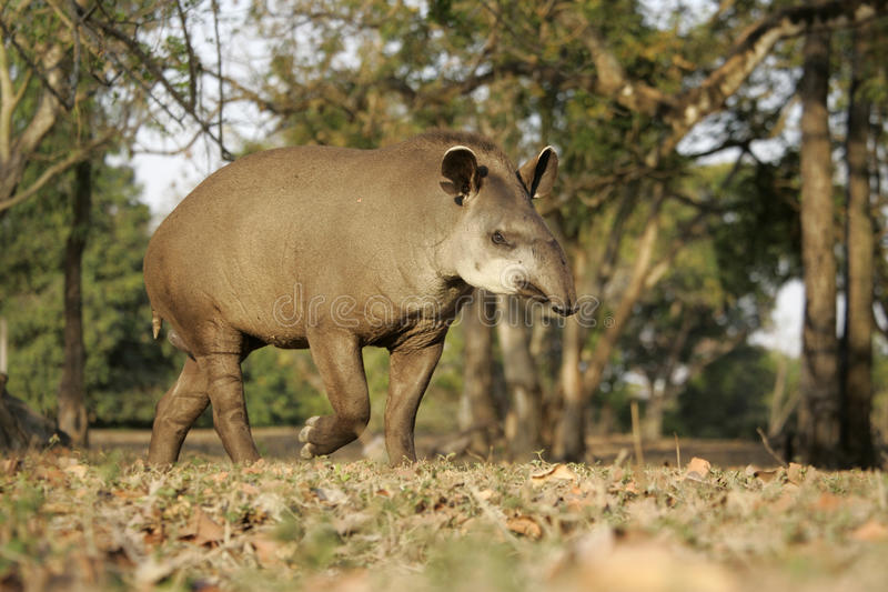 Brazilian tapir, Tapirus terrestris,. On land in Brazil royalty free stock images