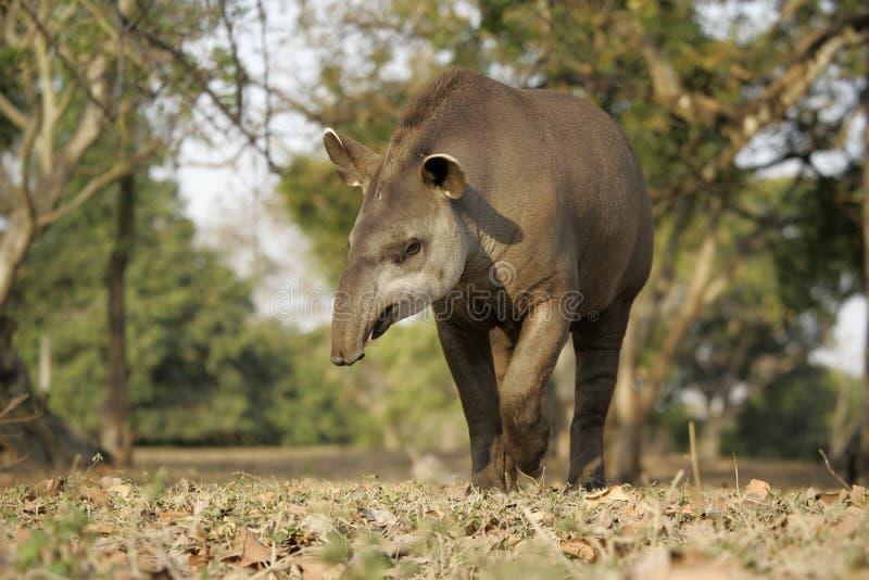 Brazilian tapir, Tapirus terrestris,. On land in Brazil royalty free stock photo